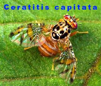 Ceratitis capitata males
